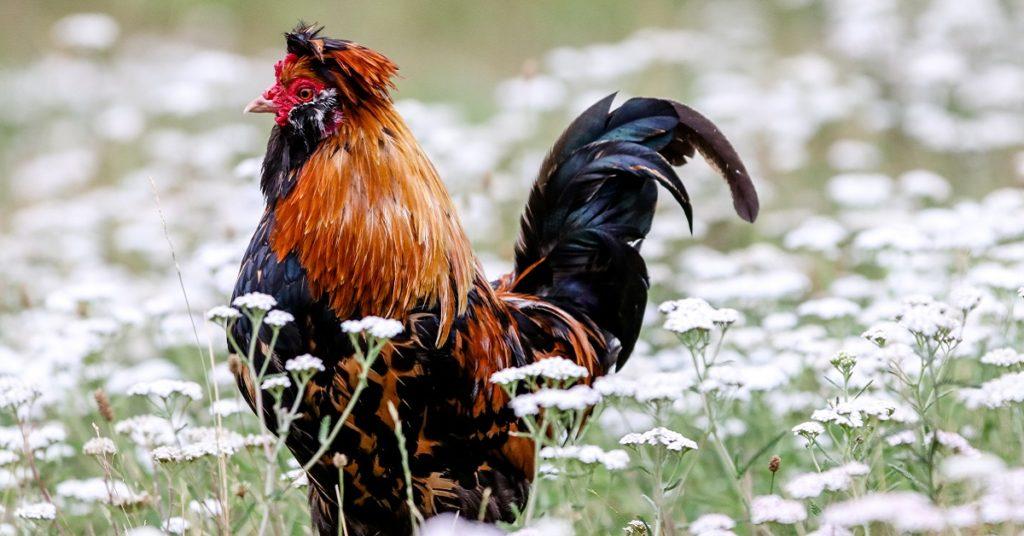 鶏口牛後をイメージした画像
